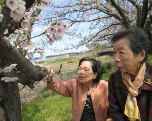 近くの公園に行き、満開の桜を見に行きました。